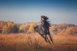 Fototapeta Horses - Black Arabian horse runs forward on the trees and sky background in autumn