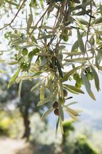 Olives, Near Castelvecchio Di ...