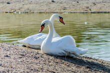 A Pair Of White Swans With Bea...