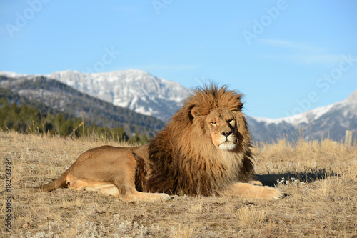 lion laying down  with great view