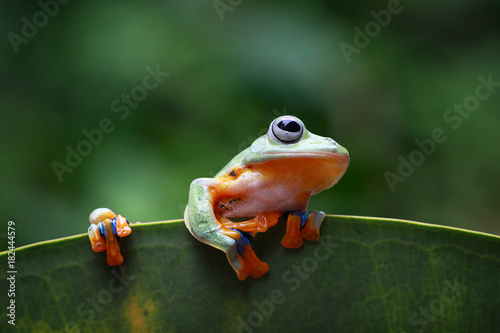 Foto op Plexiglas Kikker Tree frog, flying frog on leaf