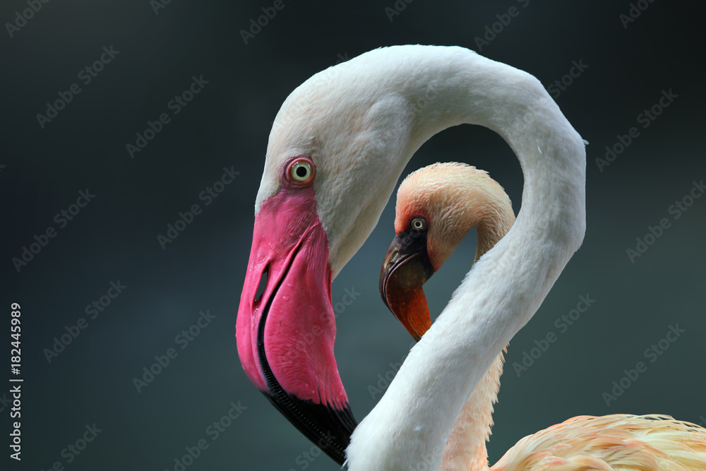 Beautiful young flamingo on frame