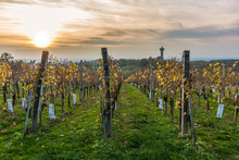 The Vineyards In Lendavske Gor...