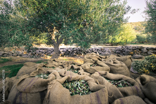 Foto op Aluminium Olijfboom Harvested fresh olives in sacks in a field in Crete, Greece for olive oil production.