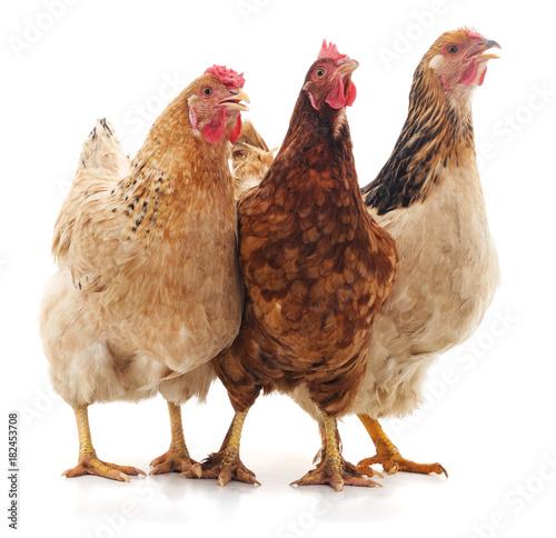 Three brown chicken.