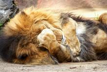 Maile Lion Playing Peekaboo