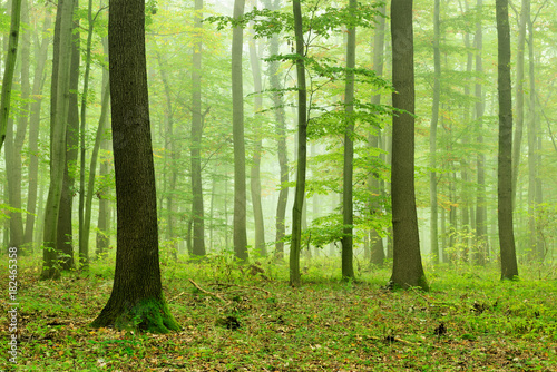 Garden Poster Forest Foggy Natural Forest of Oak and Beech Trees