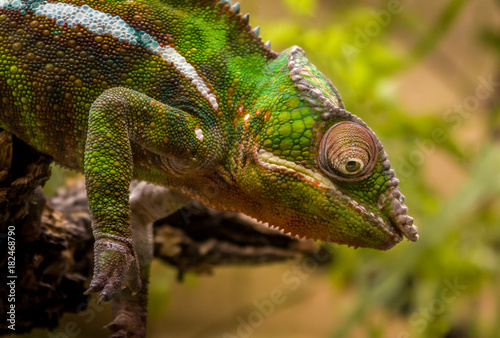 Poster Chamaleon Closeup of Chameleon sitting on a branch
