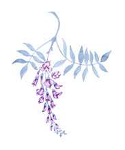 Flowers On A Branch Of A Wisteria. Isolated On White Background.