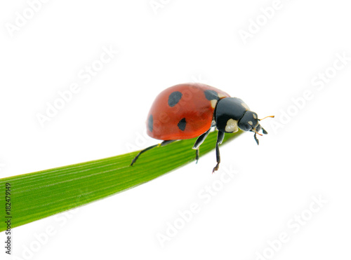 Bright red ladybird on green leaf isolated on white