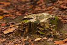 Old Tree Stump With Fungi
