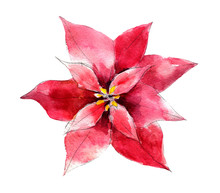 Handdrawn Vintage Poinsettia Flower, Watercolor Illustration Isolated On White Background.