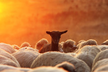 Black Goat Ram With Sheep Herd