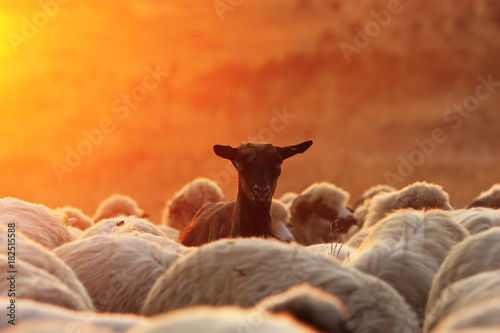 black goat ram with sheep herd