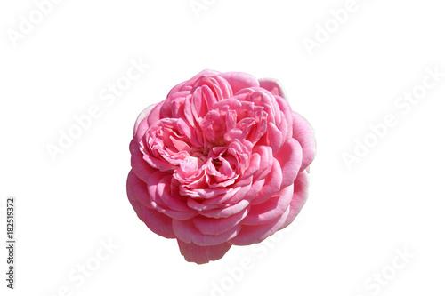 Plakat Piękna menchii róża w dzikim, odosobnionym na białym tle.