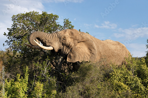 Elephants in the Addo Elephants National Park, South Africa.