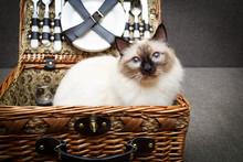 Sacred Cat Of Burma