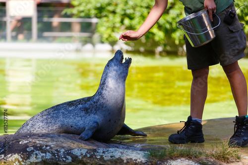 Fototapeta premium Pracownik zoo karmi fokę