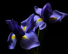 Iris Pair 0211
