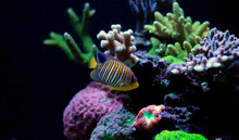 Regal Angelfish In Reef Aquari...