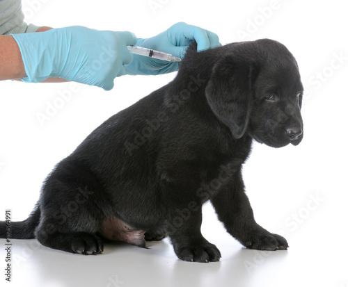 Fotografia puppy getting vaccinated