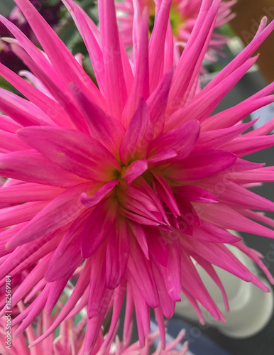Poster de jardin Dahlia bright pink aster