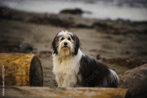 Fotomural Polish Lowland Sheepdog outdoor portrait standing on beach with logs