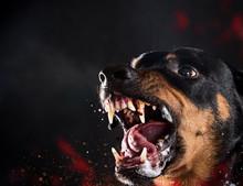 Ferocious Rottweiler Barking M...