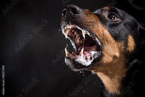 Ferocious Rottweiler barking mad on black background. Canvas Print
