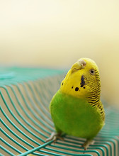 Green And Yellow Female Budgie...