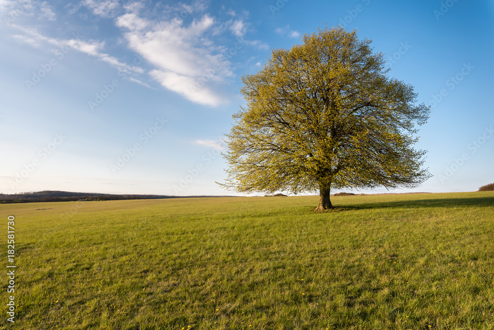 Lonesome Tree on field in sundown
