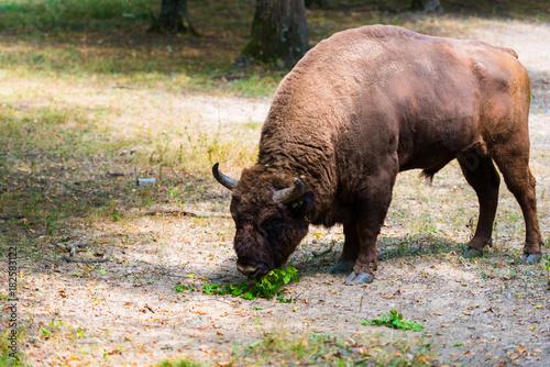 Vászonkép Wild aurochs