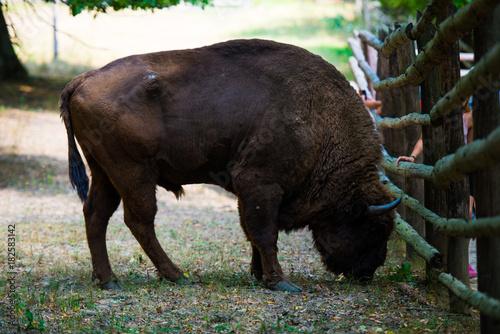 Wild aurochs Tapéta, Fotótapéta