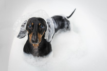 A Dog Dachshund, Black And Tan...