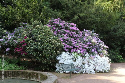 Fototapety, obrazy: Rhododendronblüte im Karthausgarten Eisenach