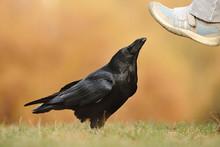The Common Raven (Corvus Corax...