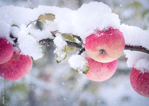 Apples on the branch and the first snow.