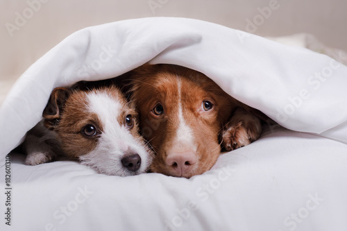 Fotografie, Obraz  Dog Jack Russell Terrier and Nova Scotia duck tolling Retriever lying on the bed