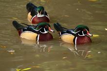 3 American Wood Ducks