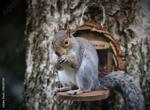 Foto op Canvas Eekhoorn Grey Squirrel