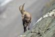 canvas print picture junger Steinbock im Hochgebirge - Capra ibex