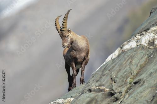 canvas print motiv - gelilewa : junger Steinbock im Hochgebirge - Capra ibex