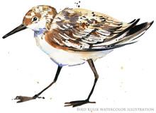 Watercolor Illustration With Sandpiper Sea Bird.