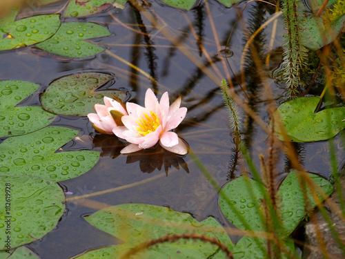 Foto op Canvas Waterlelies Seerose, Nymphaea