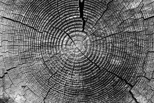 Old tree rings with cracks black and white close-up - macro Canvas Print