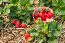 Strawberry Plants With Ripe St...