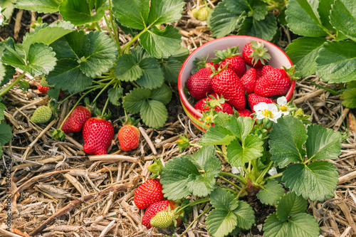 strawberry plants with ripe strawberries, flowers and bowl of strawberries