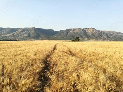 Obraz na plátně Campi di grano in Puglia
