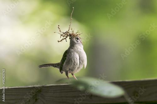 Valokuva  Wren building a nest.