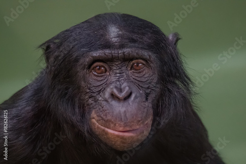 In de dag Aap Portrait of funny and smiling Bonobo, close up